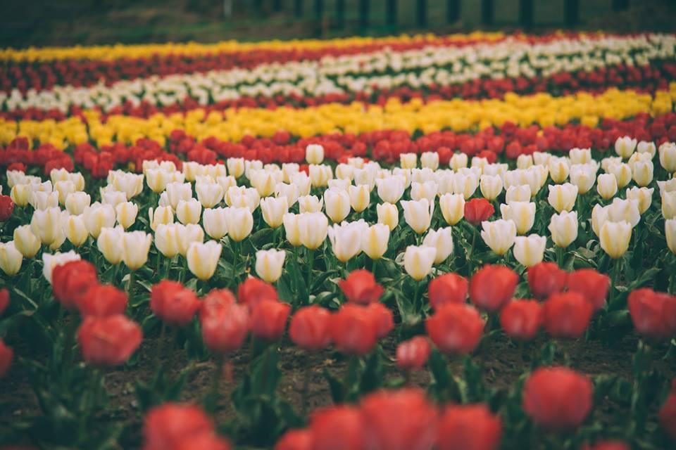 tulip sanasar jammu