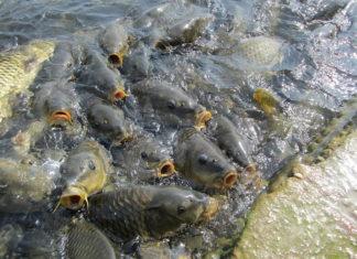 Mansar-Lake-fish