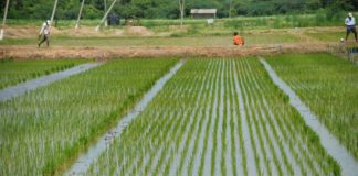 rice farming jammu