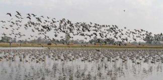 migratory birds Jammu