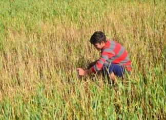 yellow rust wheat jammu