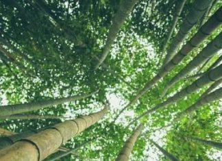 bamboo reasi